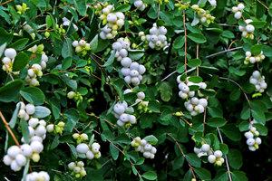Как называется кустарник с белыми ягодами