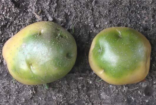 Зелёные пятна на картофеле отчего возникают и можно ли употреблять в пищу такую картошку
