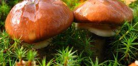 Съедобные и ложные маслята: описание и отличия грибов