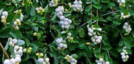 Снежноягодник белый: лечебные и декоративные свойства